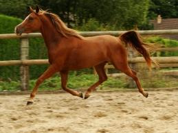 2012 - CHALIMA EL NEFOUS (Quersiam el nefous x Kalima el oued par Magic ould Mag) à l'élevage - gagnante en concours d'élevage